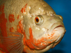 lateral-line-hole-in-head-fish